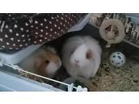 Adult female guinea pigs