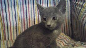 British blue X British short hair kittens for sale