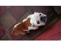 British bulldog for sale