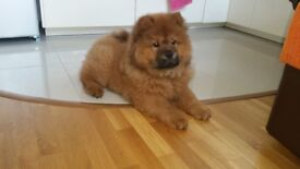 Red Chow Chow girl for sale