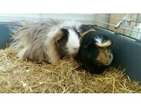 Guinea pigs free to good home