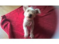 rehoming Ruby Yorkshire Terrior 18 months old