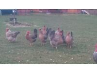 lovely selection of cream crested legbar pullets for sale