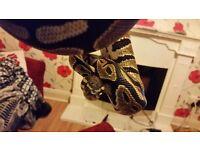 Royal python mojave