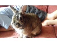 Friendly 9 month old , male Lion head bunny looking for a good home