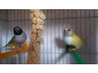 Beautiful pairs of Gouldian Finches for sale-£35 each