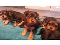 Full bred Yorkie pups