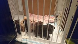 Sharpei puppies for sale