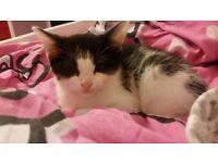 3/4Tuxedo x persian doll face kittens