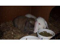 Two Pure Bred Minilop Rabbits