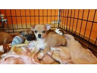 Beautiful chihuahua puppies. Ready now