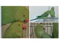 Top Baby Indian Ringneck Talking Parrots And Brand New Cages [TAME£130 / NONTAME£90]