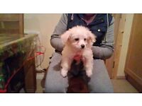 14 week old bischon frise for sale