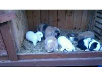 Lop ear rabbit's for sale