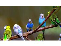 Budgies for sale pairs