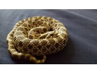 Western Hognose with vivarium