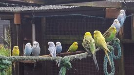 14 budgies for sale.