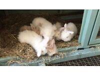 Beautiful mini lop/ lion lop bunnies for sale