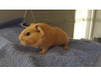 Baby guinea pigs ready now