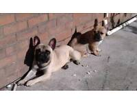 French bulldog adult female