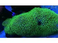 ultra Neon Green Star Polyp GSP coral frag