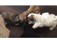 Bichon cross Lhasa female puppies