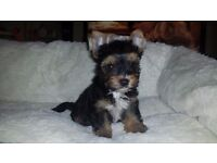 Tri color Tea-cup Yorkshire Terrier puppies for sale
