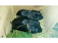 2 guinea pigs and hutch