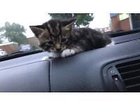 4 week old Bengal kitten