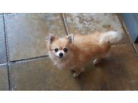Chihuahua x Pomeranian Adult Male for sale