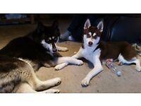 Last Beautiful Husky x Pomsky Puppy