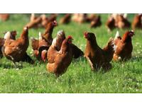 Isa brown hens