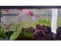 Tropical fish guppys colourful breed
