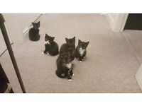 Kittens looking for a new family and friendly home
