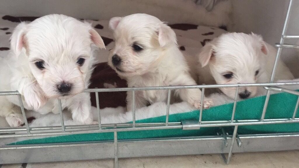 maltese puppies kennel club registered