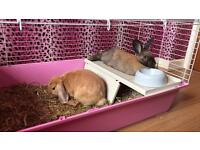 2 female baby rabbits and indoor hutch