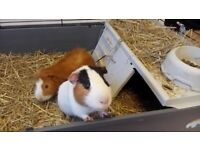 two lovely guinea pigs, together with their cages and nuggets, 40 pounds