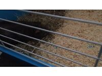 Guinea pig for sale with brand new cage