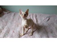 GCCF Registered Male Devon Rex Kittens for Sale.