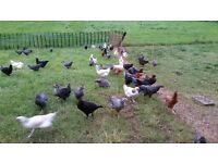 Grass reared pullets for sale