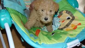 ONLY TWO LEFT kc lakeland terrier puppies