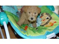 AVAILABLE NOW Kc lakeland terrier puppies