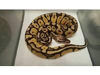 CB16 Super Pastel het Green Ghost Royal Python