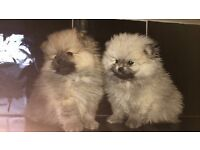 Kc reg Pomeranians 3 boys 1 girl show quality