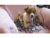 Mini jack russell puppies for sale