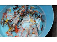 """Japanese koi for sale 3-5"""" for your pond"""
