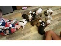 Staffordshire bull terrier x bulldog puppies