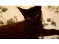 Jet Black Female Kitten