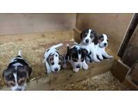 Beagles pups