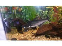 2 x pangasius catfish